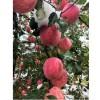 甘肃静宁苹果水果新鲜红富士10生十整箱带斤吃货当季助农顺丰爱心