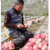 陕西正宗红富士苹果 10斤新鲜水果冰糖心脆甜平果5kg一级精品整箱